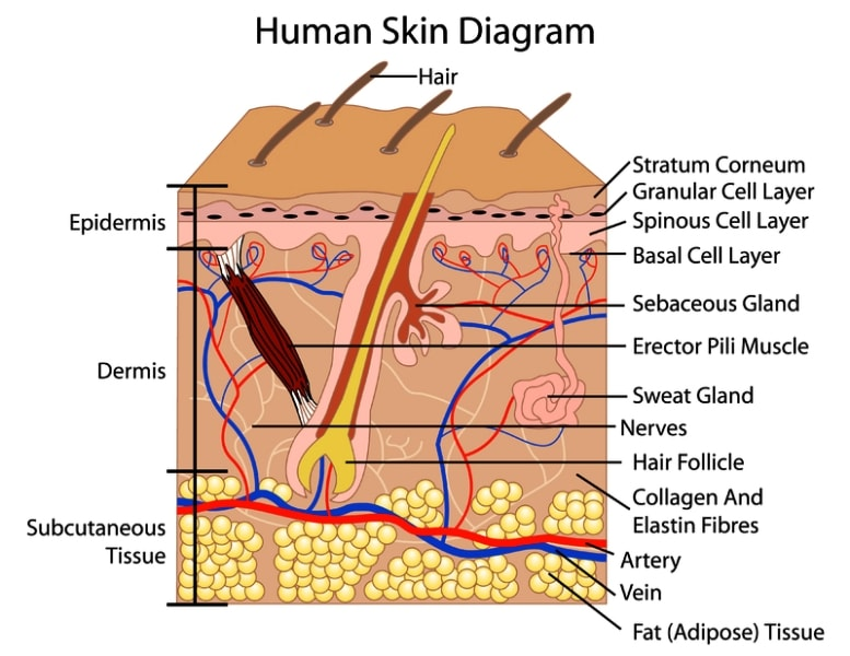 Epidermis Layers Diagram Labeled Find Wiring Diagram
